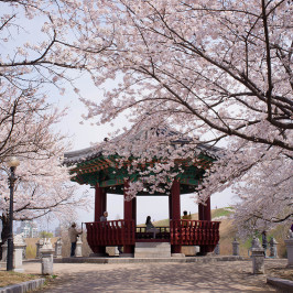 KOREA CHERRY BLOSSOM 10 – 14 / 17 – 21 APRIL 2016